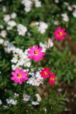 Deep Pink flowers. / Pink , purple flowers in summer royalty free stock images