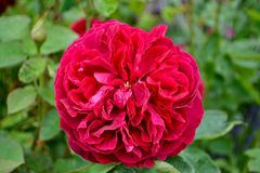 A deep pink garden rose. A deep pink garden rose in full bloom on a summers day stock photo