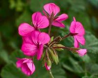 Deep pink geranium flowers closeup Royalty Free Stock Photo