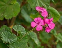 Deep pink geranium flowers closeup Royalty Free Stock Image