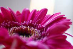 Deep Pink Gerbera in macro. Beautiful flower close up and from side. Very detailed image of this flower with its colourful petals on stock images