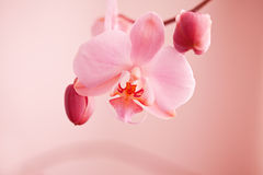 Deep pink orchid in the garden. Pink orchid in garden surrended by green background stock images