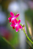 Deep pink orchid. The image of deep pink flower of Orchid royalty free stock images