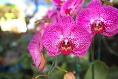 Deep Pink Orchids in Bangkok, Thailand.  royalty free stock photos
