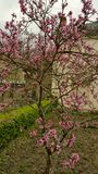 Deep pink peach blossom on garden tree Royalty Free Stock Photos