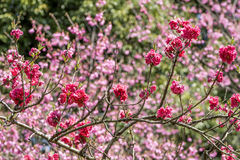 Deep pink peach blossoms. In front of pink flowers stock photography