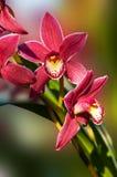 Deep pink Phalaenopsis Orchid Spray Royalty Free Stock Image