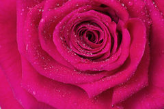 Deep pink Purple Power rose, close-up. Close up of a beautiful cerise pink rose with water drops royalty free stock photos