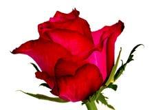 Deep pink rose. Royalty Free Stock Photos