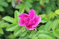 Deep pink rose on bush. Vibrant pink rose stock images