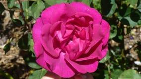 Deep pink rose Stock Photos