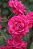 Deep Pink Roses. A beautiful rose bush full of irresistible blooms stock photography