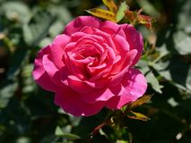 Deep pink rose. Deep pink rosr stock photos