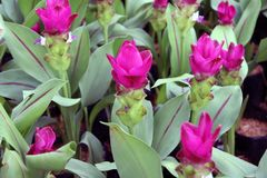 Deep Pink Siam Tulip on the Nursery plants. Curcuma alismatifolia or summer tulip is a tropical plant native to Laos. Deep Pink Siam Tulip on the Nursery plants stock photo