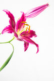 Deep pink stargazer lily flower Stock Images