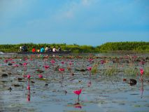 Deep pink water lilies Lotus in a vast lake as known Talay Noi. Boat trip sightseeing attraction, Deep pink water lilies Lotus in a vast lake as known Talay Noi royalty free stock photos