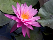 Deep pink water lily  close-up. Beautiful water lily shot in watergarden Royalty Free Stock Photos