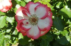 Deep pink and white Wild Rose Closeup royalty free stock images