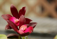 Deep Purple Cattleya Orchids Royalty Free Stock Photography