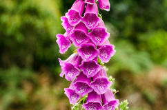 Foxglove Flower Royalty Free Stock Image