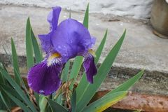 Deep Purple Iris in a Flower Bed Stock Photography
