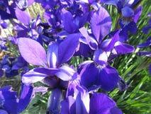 Deep Purple Iris Flowers fotografia stock libera da diritti