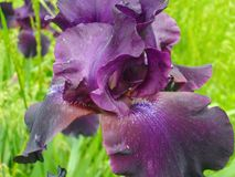 Deep purple Iris Stock Images