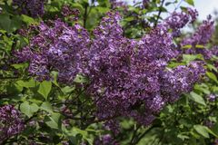 Deep purple lilacs flower clusters in the sunshine. Branches of lilacs in full bloom in the spring. Background of dark green leaves and sky stock photo
