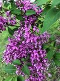 Deep purple lilacs on tree Stock Photo