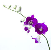Deep purple orchid isolated on a white Stock Photos