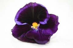 Deep purple pansy Stock Photo