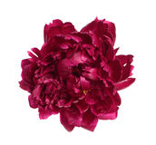 Deep purple peony flower Royalty Free Stock Photos