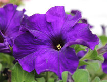 Deep Purple Petunia Royalty Free Stock Images