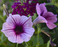 Deep purple petunias against a green background. Two Flowers, green grass stock image