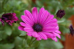Deep Purple Pink Flower Head. Close up of pink flower with foliage and flower buds royalty free stock image
