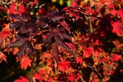 Deep purple and red leaves of Korean maple tree Acer Pseudiosieboldianum during autumn season, middle october. Afternoon sunshine royalty free stock photo