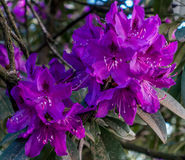 Deep Purple Rhododendron Closeup Stock Photography