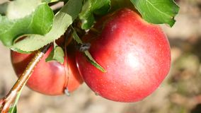 Deep red apple on tree, close up.  stock footage