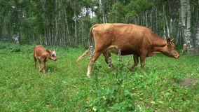 Cow and calf grazing on green grass. Deep red cattle cow and calf grazing on green grass near the birch forest stock footage