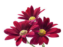 Deep red chrysanthemum flowers. On a pure white background with space for text Stock Image