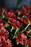 Deep red chrysanthemum flowers outside on an autumn evening Stock Photos