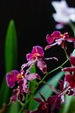 Deep red color orchid miltonia on a black background. Deep red color orchid miltonia on a black background Royalty Free Stock Image