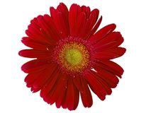 Deep Red Gerber Daisy. A Red Gerber Daisy on a white background royalty free stock photo