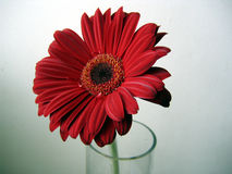 Deep Red Gerbera Flower Close up on Green Background. Deep Red Gerbera flower on a green background top view close up Royalty Free Stock Image