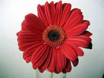 Deep Red Gerbera Flower Top View Close up on Green Background. Deep Red Gerbera flower on a green background top view close up Royalty Free Stock Photo