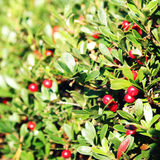 Deep red Lingonberry in the nature. Autumn photo. Royalty Free Stock Photo