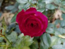Deep red mini rose Stock Images