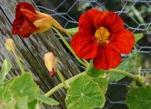 Deep red nasturtium flower growing against green leaves Stock Photo