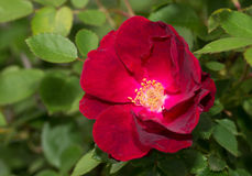 Deep red old style rose Royalty Free Stock Photos