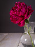 Deep Red Peony Flower Stock Image